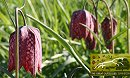 Easter Walk Among The Fritillaries