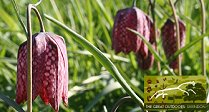Walk Among The Fritillaries
