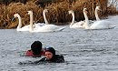 Swanning about on the river