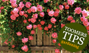 Toomers Tips for Climbing Roses