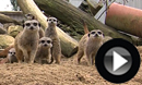 Meet The Meerkats!