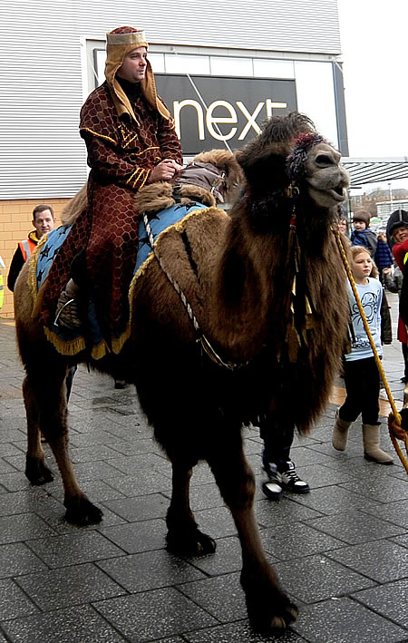 Camels in Swindon 2011