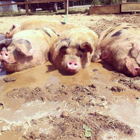 Roves Farm pigs in the mud