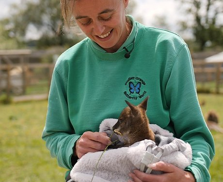 Riley the wallaby joey at Studley Grange