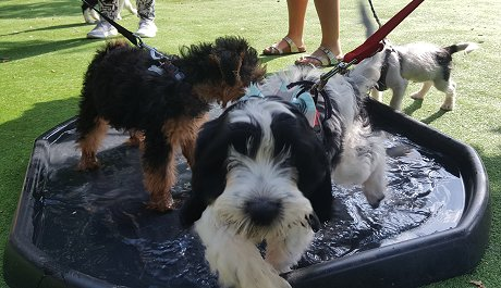 Puppy Pool Party at Janet's Puppy Skool