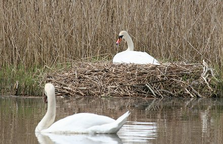 Swans nesting at Stanton Park Swindon