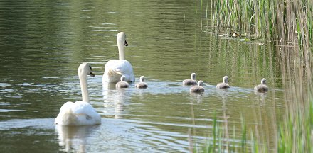 Stanton Park Swindon swans and signets