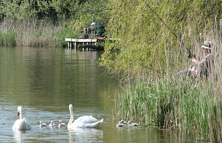 Stanton Park Swans and signets Swindon