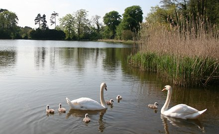 Stanton swans and signets