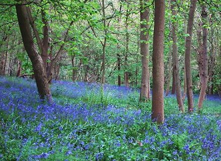 Bluebells in Swindon