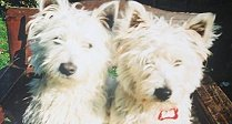 Buddy and Holly - lost Westies found!
