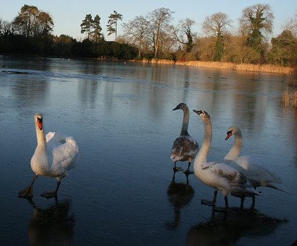 Stanton Park swans on frozen lake 03 Jan 2009