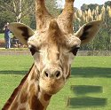 Giraffe at Cotswold Wildlife Park