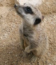 Meerkats in Swindon