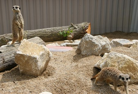 Meerkats at Studley Grange in Swindon