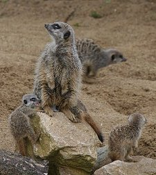 Meerkats Swindon
