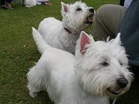 Westie Rehoming