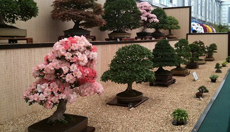 Swindon Bonsai Chelsea Flower Show 2011 Winner