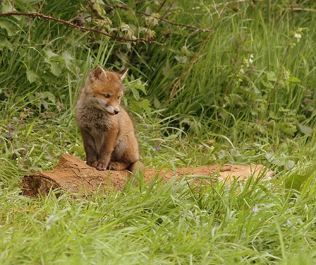 Swindon Fox Cub